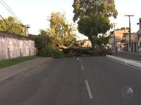 Árvore cai sobre uma das pistas da Av. Suburbana em Salvador - A Transalvador informou que um trator da prefeitura foi até o local para retirar a árvore.