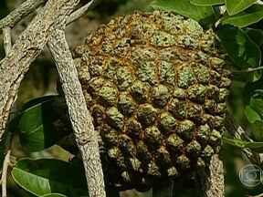 Começa a colheita do marolo no sul de Minas Gerais - No sul de Minas Gerais, começou a colheita do marolo, uma fruta típica do cerrado. A cultura é extrativista e gera renda extra para quem vende o produto in natura e também para quem faz doces e bolos.