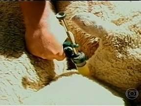Casos de sarna em ovinos interdita propriedades rurais na fronteira com o Uruguai - Equipe de veterinários faz um mutirão de combate ao parasita que provoca a infecção. A aplicação do medicamento no rebanho começa antes mesmo do dia amanhecer. Nove mil ovinos vão receber o tratamento em duas etapas.