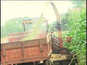 Temporada de chuva ajuda no desenvolvimento do milho no Alto Uruguai, RS - Cereal é a base para a produção de ração para o gado leiteiro.