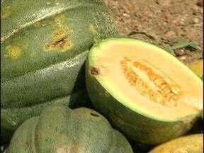 Manchas em melões intrigam produtores do fruto no RS - Prejuízo chega a 80% para produtores.