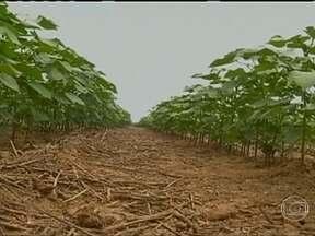 Agricultores do MT torcem para que o período de chuvas se estenda - Devido ao longo período de chuvas, que atrasou a colheita de soja, muitos agricultores semearam a safra de algodão mais tarde. Eles esperam que a chuva se estenda até o final de maio para garantir uma boa produtividade.