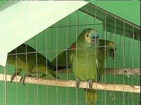 Polícia Ambiental apreende pássaros silvestres - Os pássaros eram criados sem autorização na região de Maringá