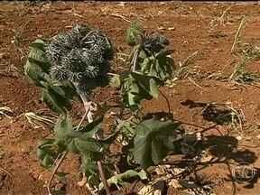Produtores de mamona da Bahia enfrentam problemas com a seca prolongada - A falta de chuvas regulares prejudicou as lavouras de mamona do estado. Os agricultores lamentam as perdas nas propriedades. Segundo a Empresa Baiana de Desenvolvimento Agrícola, a produção foi completamente perdida em 30% das lavouras.