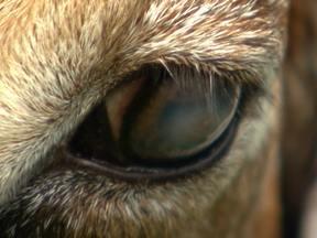 Doença nos olhos das cabras deve ser tratada com antibiótico - O animal fica com o olho embaçado, esbranquiçado, e pode até ficar cego. Caso foi enviado por Henrique Moleiro de Itapecerica da Serra, interior de São Paulo.