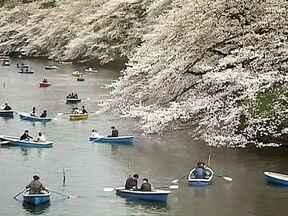 Veja no JH: japoneses comemoram florada de cerejeiras - O Japão fica coberto de flores durante apenas uma semana. Duas crianças tomam choque em supermercado de São Paulo. Mais de 70 casas flutuantes estão abandonadas no Rio Negro. Tapetes podem fazer a diferença na decoração.