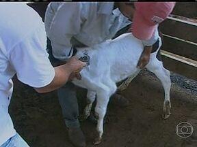 Começa a primeira etapa da campanha de vacinação contra a aftosa em Rondônia - A primeira etapa da vacinação contra a doença começa nesta segunda-feira (15) em todo o estado. O gado de zero a 24 meses deve ser vacinado até 15 de maio. A meta é imunizar cerca de quatro milhões de animais.