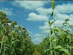 Sorgo sacarino é testado para ser alternativa na produção de etanol - Uma empresa de São Paulo está testando o cereal, que começou a ser plantado em 2012, como uma alternativa para a produção de etanol durante a entressafra da cana-de-açúcar. A planta acumula açúcar em toda a sua extensão.