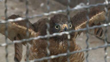 Trabalho de voluntários ajuda na recuperação de aves em Alagoas - Aves de rapina, como gaviões, falcões e corujas são alguns dos animais que precisam de cuidados especiais para que possam retornar a natureza. Em um ano de trabalho, 12 animais foram devolvidos ao habitat natural