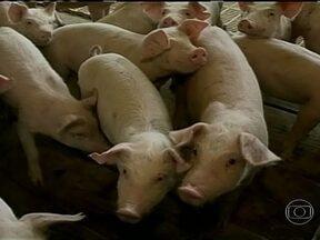 Ucrânia suspende compra de carne suína brasileira - O mercado de suínos voltou a registrar problemas. O anúncio da suspensão das compras da carne brasileira pela Ucrânia mexeu com o mercado. No Rio Grande do Sul, a queda no valor do quilo do animal já é sentida nas granjas.