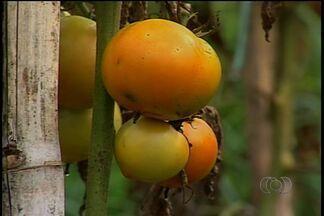 Produtores de tomate têm problemas com chuva, mas estão satisfeitos com preço, em Catalão - Preço do tomate não para de subir e produtores comemoram. No ano passado, eles vendiam a caixa do produto por R$ 30 e atualmente comercializa a caixa por R$ 85.