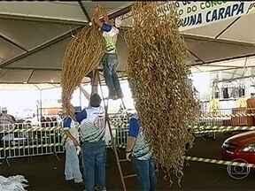 Disputa do melhor pé de soja movimenta agricultores de vários estados no MS - O concurso do pé de soja solteiro começou em 1998 como uma brincadeira, mas a disputa ficou séria ano após ano. Os agricultores se dedicam durante meses preparando a melhor planta.
