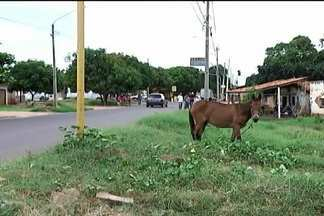 Em Timon, animais de grande porte provocam acidentes de trânsito - Em Timon, animais de grande porte provocam acidentes de trânsito. Os mototaxistas são as principais vítimas e denunciam falhas no serviço de recolhimento.