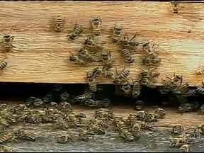 Chuvas no sertão de Pernambuco animam apicultores - A chuva dos últimos dias mudou a paisagem da caatinga. As árvores floresceram e as abelhas retomaram o trabalho. Os apicultores ficaram animados porque vão ter mel para vender.