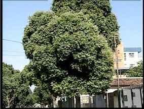 Para podar e cortar árvores é necessário autorização da prefeitura em Valadares - A poda é necessária para conservação das plantas.