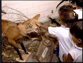 PM de Trânsito, em Teófilo Otoni, está recolhendo animais mortos para empalha-los - Iniciativa tem como objetivo incentivar o interesse das crianças pela preservação ambiental