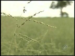 Agricultores de Sud Menucci, SP, apostam no plantio de sementes como cultura - Lucrar plantando sementes. É o que estão fazendo agricultores de Sud Menucci (SP). Na contramão da tendência do noroeste paulista, a qualidade do solo do município favorece o desenvolvimento da nova cultura.