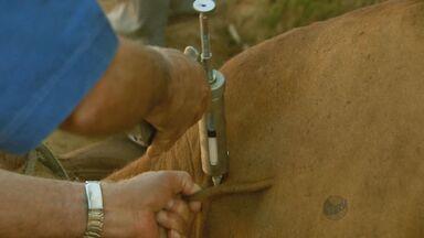 Produtores vacinam o gado contra a febre aftosa - Produtores vacinam o gado contra a febre aftosa