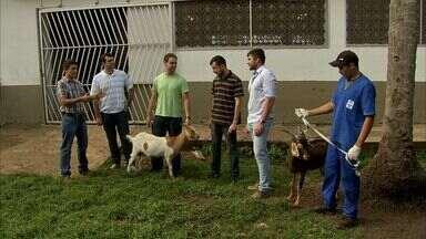 Leite de cabra trangênica evita a diarreia - Experimento foi desenvolvido no Ceará.