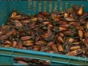 Agricultores do PR encontram dificuldade para encontrar sementes de pinhão nas matas - Os agricultores que se dedicam à produção de pinhão no Paraná não estão muito animados. Depois de um ano de fartura, agora eles têm dificuldades para encontrar sementes nas matas.