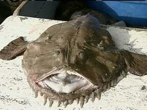 Peixe sapo - Peixe-sapo é pescado no Extremo Sul do Brasil. Pescadores ensinam como pegar o peixe-sapo em alto mar.