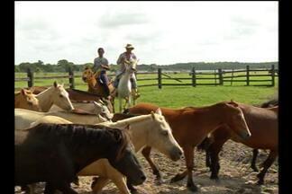 Cavalo Puruca, o pônei do Marajó, corre risco de desaparecer - Conheça o único mini cavalo brasileiro e entenda porque a espécie corre risco de extinção.