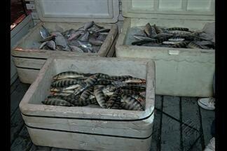 Ibama apreende peixes capturados de forma irregular no Lago de Tucuruí - 650 quilos de várias espécies estavam abaixo do tamanho permitido.
