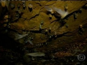 Aventura em caverna cheia de morcegos exige muita coragem - O repórter Francisco José decidiu entrar na caverna dos morcegos, na Serra do Catimbau, sertão de Pernambuco. Esses mamíferos que voam, vivem na escuridão e cantam como pássaros.
