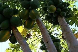 Mamoeiro 'mutante' chega produzir mais de 200 frutos, em Itumbiara, Goiás - O mamoeiro foi plantado há dois anos e o proprietário afirma que processo de poda causou aumento na produtividade da fruta. Especialista declara que a ramificação da planta causou mutação.