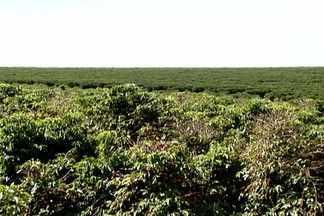 Por causa do clima, grãos ficam maduros de forma desigual no ES - O café cresceu de forma desordenada por conta das chuvas prolongadas em 2012. Essa mudança climática favoreceu no café um desenvolvimento desigual das gemas florais.