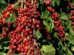 Agricultores do oeste da Bahia antecipam colheita para melhorar qualidade do café - A previsão é que sejam colhidas na região mais de 470 mil sacas do grão, cerca de 60% da produção.