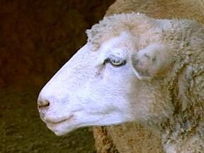 Ovelha chama a atenção por instinto materno em Cruzeiro do Sul, RS - Animal teve três filhotes e não os perde de vista.