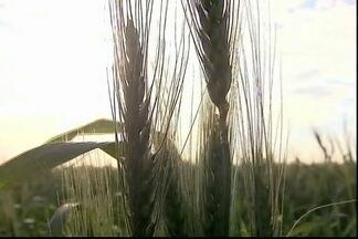 Produtores de trigo do Paraná estão satisfeitos com os preços e apreensivos com o clima - Este ano foram semeados 914 mil hectares de trigo na região, 17% a mais que na safra passada. A principal preocupação tem sido o clima. No mês de junho, choveu três vezes mais do que o volume normal para o período.