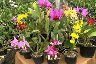 Produtor de orquídeas explica como fazer muda da flor - A telespectadora Carine Lara, do Rio Grande do Sul, quer aumentar sua coleção de orquídeas. Produtor da flor mostra como fazer.