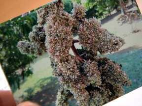 Fungo faz com que flores de mangueira caiam sem formar frutos - Especialista explica que o fungo do gênero Fusarium desorganiza a formação de flores e causa excesso de brotação. A primeira medida de combate é cortar as partes contaminadas da planta.