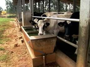 Deficiência de sódio faz vacas beberem água com cloro - O fato aconteceu na propriedade do telespectador Robson Faria, de Dores do Rio Preto (ES). Especialistas explicam que deficiência de sódio por ser a causa.