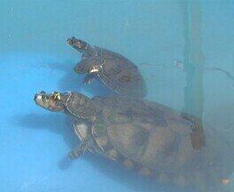 'Vitrine de Tecnologia' apresenta diversidade de plantações e espécies aquáticas - Tartarugas e espécies de peixes, como pirarucu e tambaqui, são expostos nos tanques.