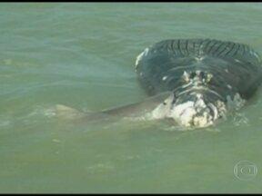 Biólogos estão preocupados com a quantidade de baleias que encalham no litoral - Muitos veterinários e biólogos estão preocupados com a quantidade de baleias que encalham no litoral brasileiro. Segundo dados estatísticos, foram dez casos só no último mês.