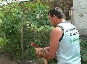 São Bento do Una se prepara para mais uma Corrida da Galinha - No domingo tem corrida no Agreste de Pernambuco, as aves são as atrações do evento.