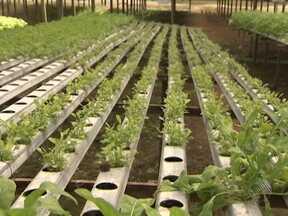 Falta de mão de obra prejudica produção de hortaliças hidropônicas em Mata de São João - O problema é que, como a hidroponia é cultivada de maneira diferenciada, treinar um novo empregado leva tempo.