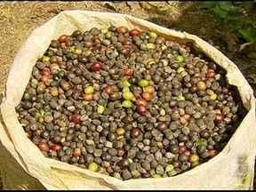Pequenos produtores de café do sul de MG reclamam da demora na ajuda do governo - Os produtores reclamam da demora do governo na aplicação das medidas de apoio à comercialização da safra. Muitos estão acumulando prejuízos.