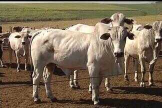 Paralisação de abates - Pecuaristas da região de Araçatuba, SP, aderiram ao movimento que busca suspender o fornecimento de gado para abate durante trinta dias. Os criadores estão descontentes com o preço da arroba