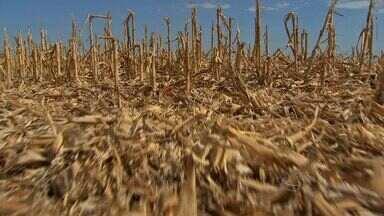 Mercado de soja se movimenta com a disparada do dólar - O grão está valorizado nas bolsas e as safras americanas enfrentam problemas climáticos.