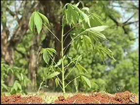 'Disque Árvore' distribui mudas gratuitamente em Fernandópolis - 21 de setembro é o Dia da Árvore. Um bom exemplo vem de Fernandópolis (SP), onde há três anos foi criado o Disque Árvore, projeto que incentiva as pessoas a aumentar a vegetação na cidade, é só ligar e pedir uma muda.