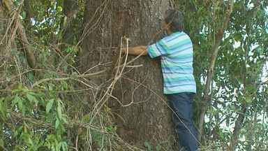 Conheça o engenheiro 'Caçador de Jequitibás' que ajuda preservar a árvore - Conheça o engenheiro 'Caçador de Jequitibás' que ajuda preservar a árvore