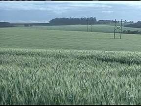 Risco de novas geadas preocupa produtores de trigo do RS - Na cidade de Cruz Alta, os agricultores que estão com o trigo no campo temem por novas geadas. A mudança brusca de temperatura nessa fase da cultura pode provocar perdas significativas.