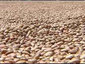 Pequenos produtores de Sergipe estão satisfeitos com a safra de feijão - Depois de um ano terrível por causa da seca, os agricultores estão felizes com a boa safra do grão. Eles colheram bastante e voltaram a ganhar dinheiro com a produção.