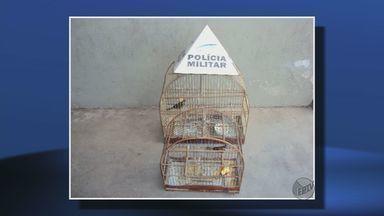 Pássaros silvestres são apreendidos em Itajubá - Pássaros silvestres são apreendidos em Itajubá