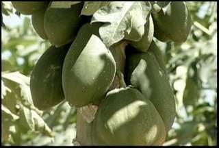 Produtores de várias regiões apostam no Norte de Minas para o cultivo do mamão - A maior para da produção da fruta sai do Projeto Jaíba.