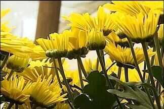 Crisântemos - Produtores de flores de Paranapanema, SP, aproveitam esta época do ano para aumentar as vendas. Dia de Finados aquece o mercado